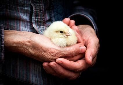 Chicken-in-hands_low